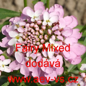 Iberka okoličnatá Fairy Mixed