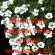 Calibrachoa Kabloom F1 Million Bells White